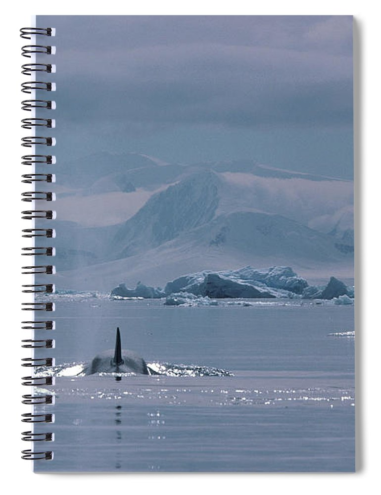 Iceberg Spiral Notebook featuring the photograph Orca Orcinus Orca, Antarctica by Art Wolfe
