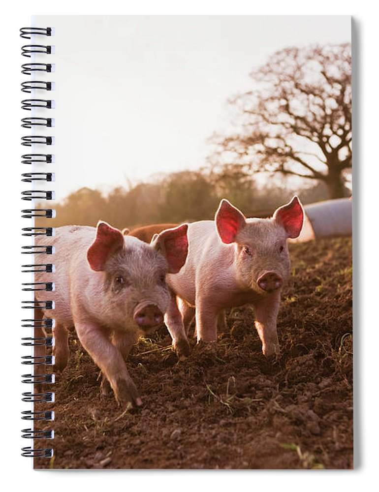 Pig Spiral Notebook featuring the photograph Piglets In Barnyard by Jupiterimages