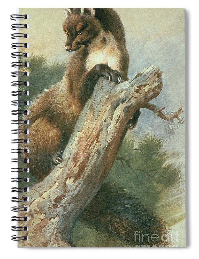 Pine Marten Spiral Notebook featuring the painting Pine Marten, 1919 by Archibald Thorburn