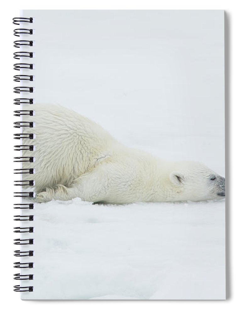 Svalbard Islands Spiral Notebook featuring the photograph Polar Bear Cub Stretching Out On Ice by Darrell Gulin