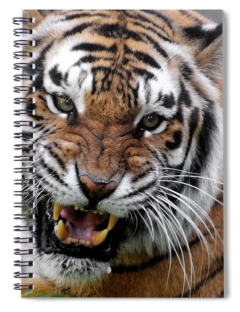 Paw Spiral Notebook featuring the photograph Portrait Of An Aggressive Bengal Tiger by Empphotography