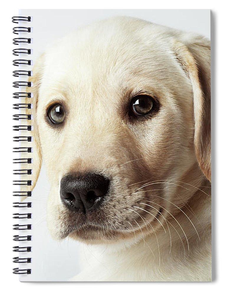 White Background Spiral Notebook featuring the photograph Portrait Of Blond Labrador Retriever by Uwe Krejci