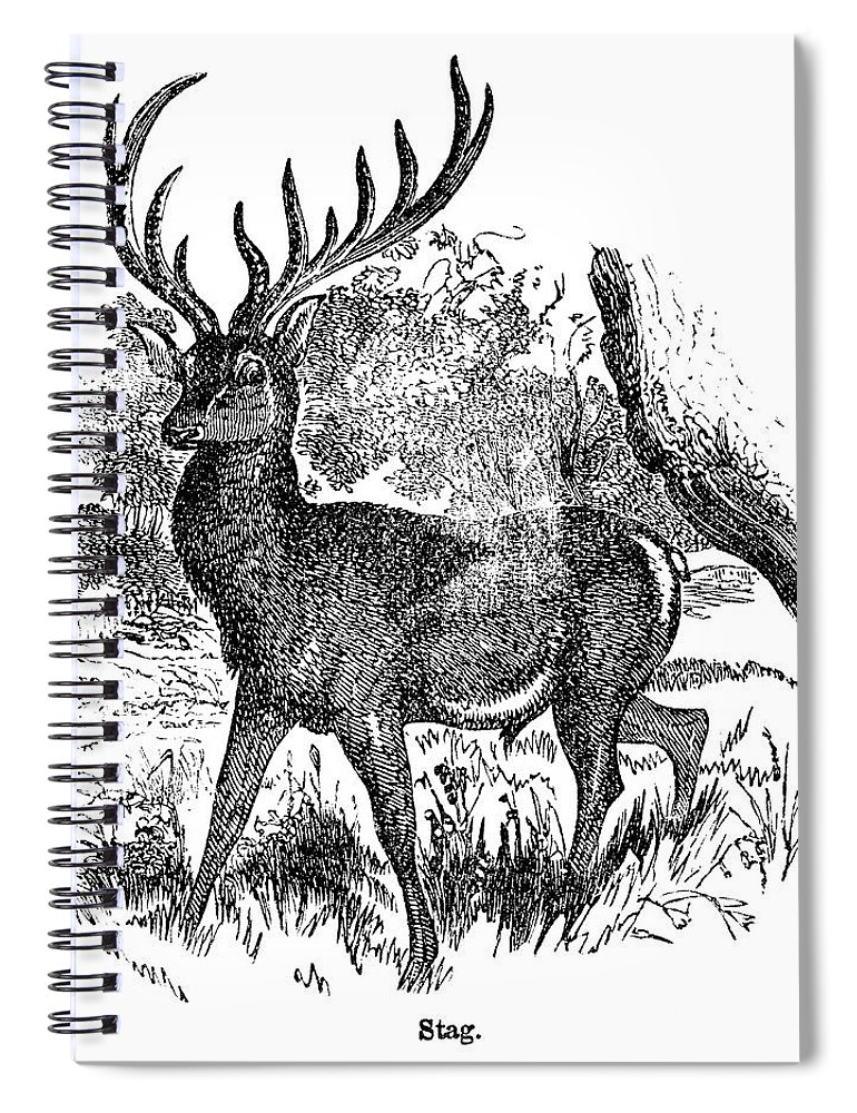 Engraving Spiral Notebook featuring the digital art Red Deer Stag Engraving by Nnehring