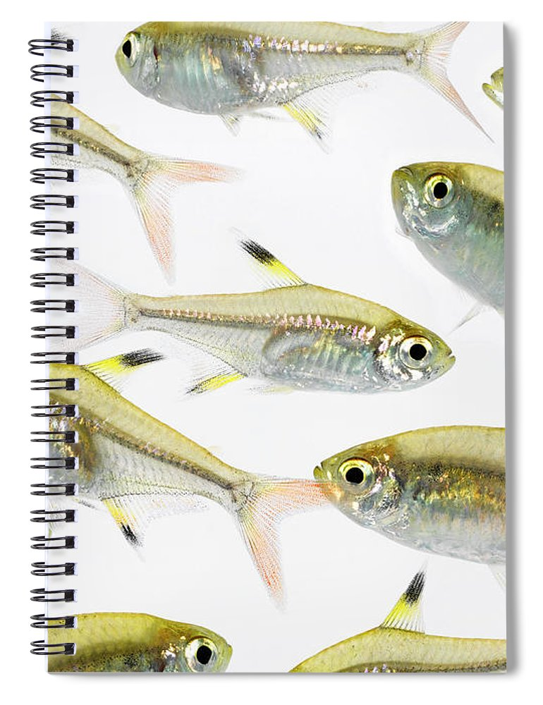White Background Spiral Notebook featuring the photograph School Of X-ray Tetra Fish Pristella by Don Farrall