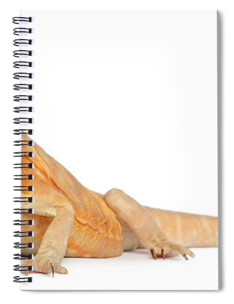 Belgium Spiral Notebook featuring the photograph Silkbacks Scaleless Bearded Dragon by Life On White