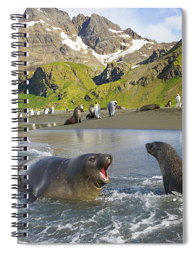 South Georgia Island Spiral Notebook featuring the photograph Southern Elephant Seal Pup Barking At by Eastcott Momatiuk