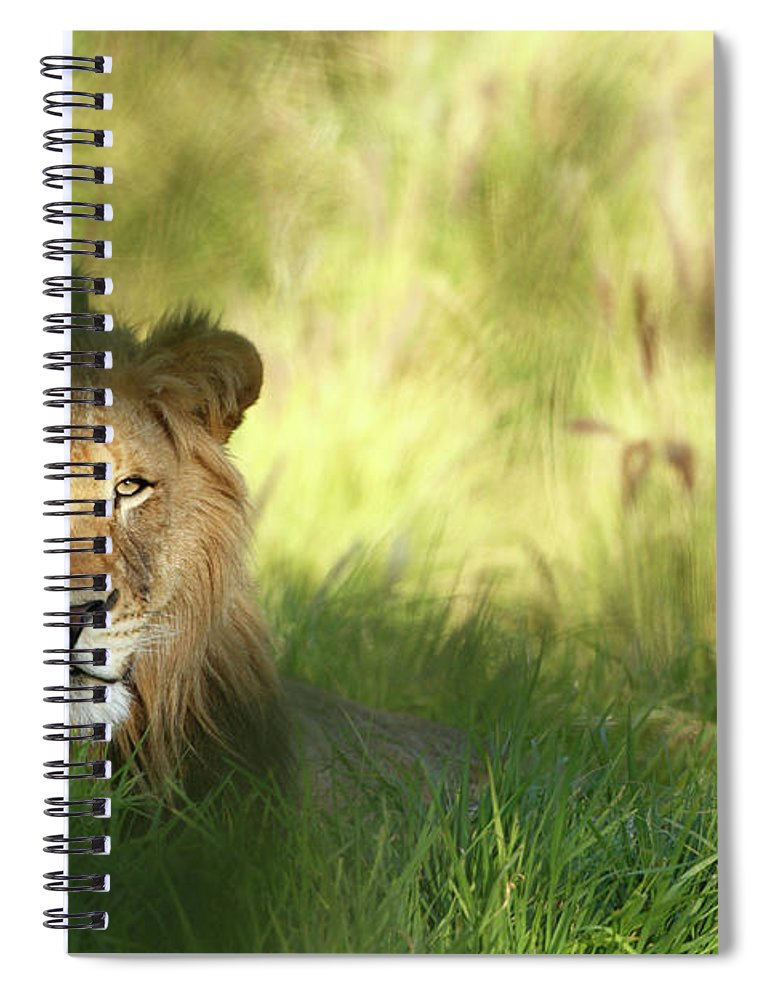 Tropical Rainforest Spiral Notebook featuring the photograph Staring Lion In Field Of Grass With by Jimkruger