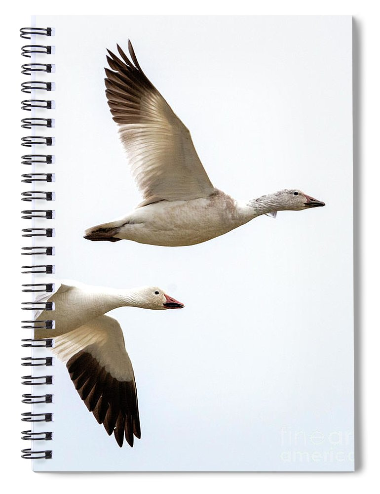 Snow Geese Spiral Notebook featuring the photograph Tandem Flight by Mike Dawson