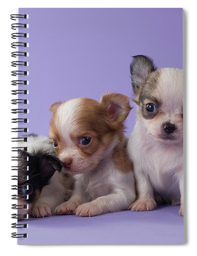 Pets Spiral Notebook featuring the photograph Three Chihuahua Puppies by Mixa