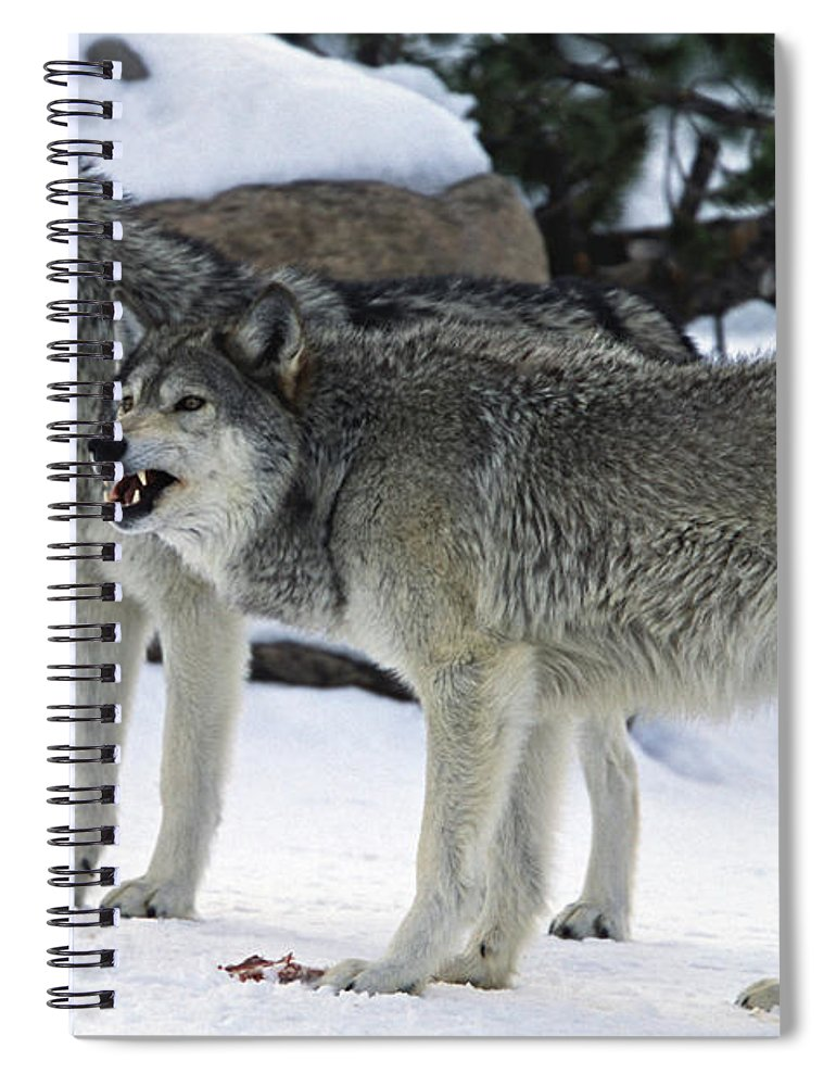 Snarling Spiral Notebook featuring the photograph Two Wolves by Judilen
