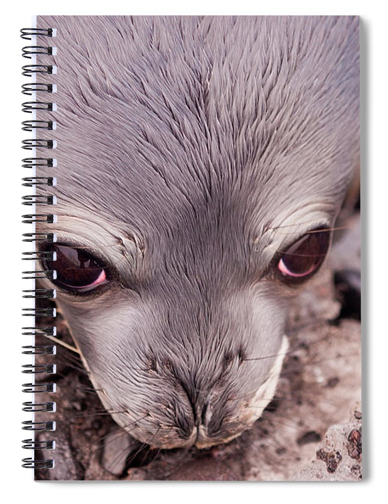 Animal Themes Spiral Notebook featuring the photograph Weddell Seal Pup, Antarctica by Mint Images/ Art Wolfe