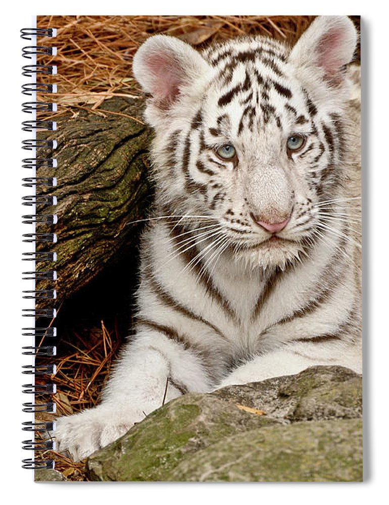 White Tiger Spiral Notebook featuring the photograph White Tiger Cub by Empphotography
