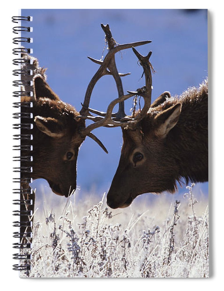 Animal Themes Spiral Notebook featuring the photograph Young Bull Rocky Mountain Elk Cervus by Riccardo Savi
