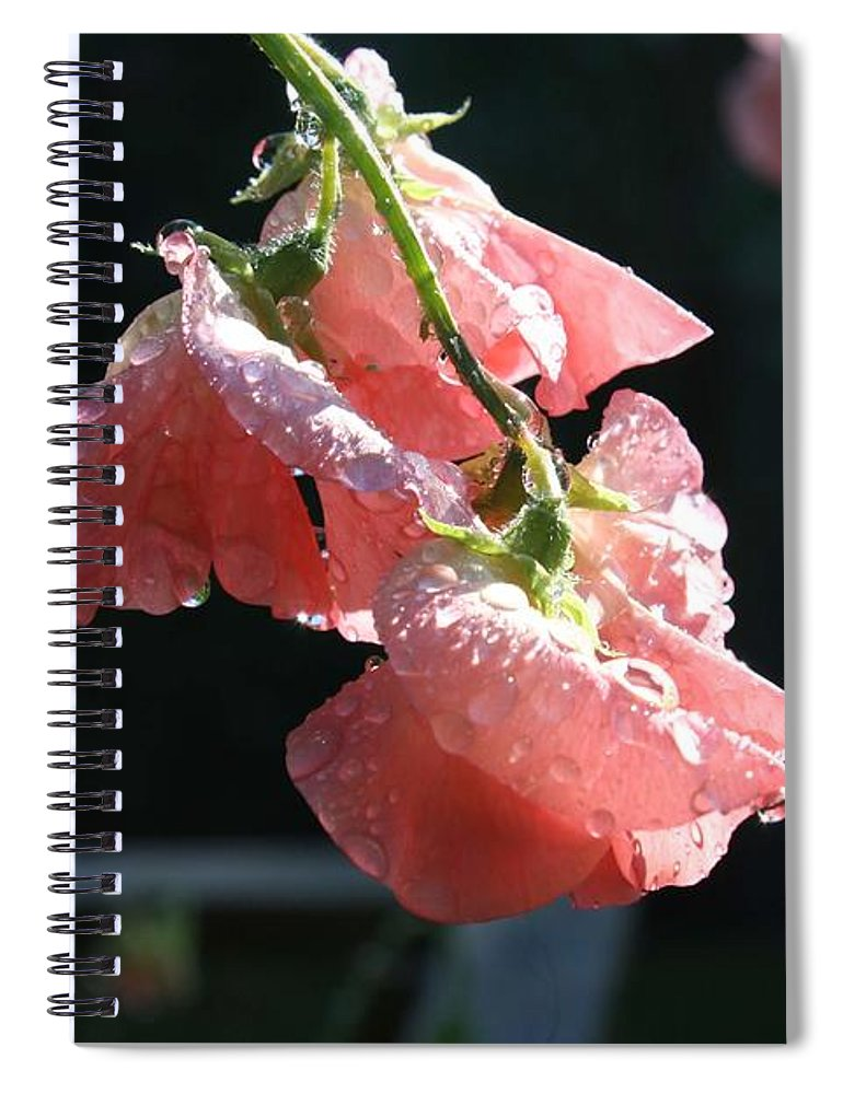 Sweet Pea Spiral Notebook featuring the photograph Blush Sweet Pea by Vicki Cridland