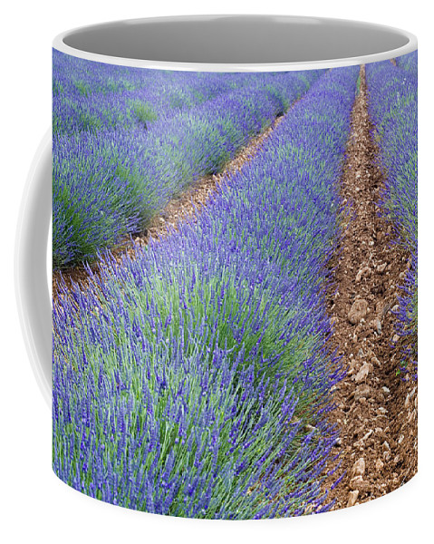 Lavender Coffee Mug featuring the photograph 080720p071 by Arterra Picture Library