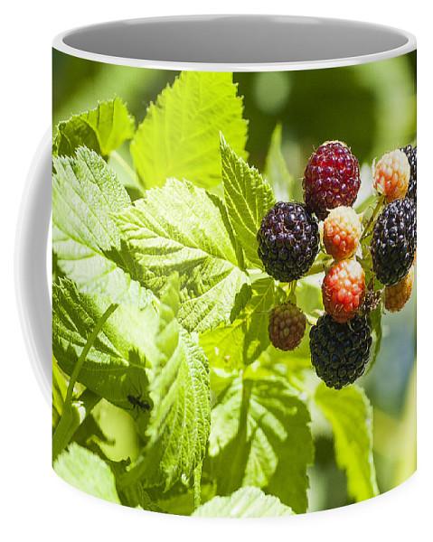 Raspberries Coffee Mug featuring the photograph Black Raspberries 2 by Steven Ralser