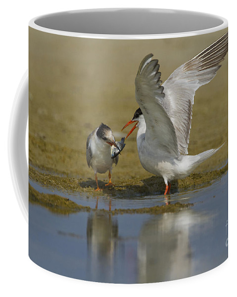 Common Tern Coffee Mug featuring the photograph Common Tern Sterna Hirundo by Eyal Bartov