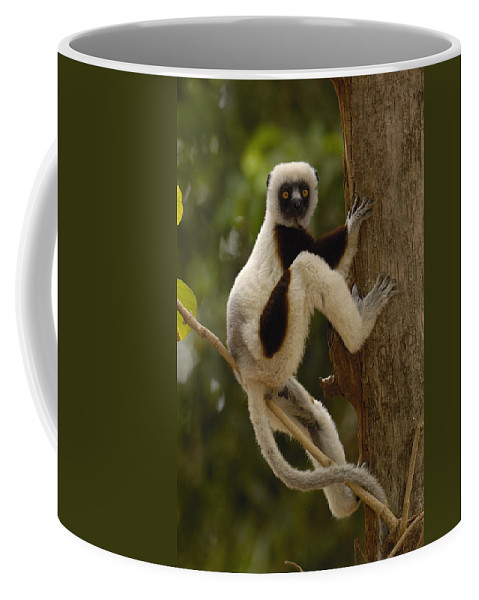 Feb0514 Coffee Mug featuring the photograph Coquerels Sifaka Madagascar by Pete Oxford