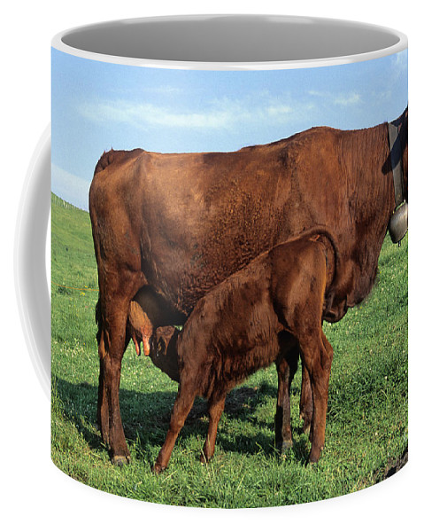 Cow Salers Coffee Mug featuring the photograph Cows Salers by Bernard Jaubert