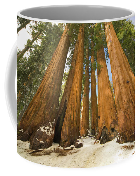 00431218 Coffee Mug featuring the photograph Giant Sequoias After First Snow by Yva Momatiuk John Eastcott