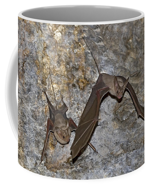 Mouse-tailed Bat Coffee Mug featuring the photograph Greater Mouse-tailed Bat Rhinopoma Microphyllum by Eyal Bartov