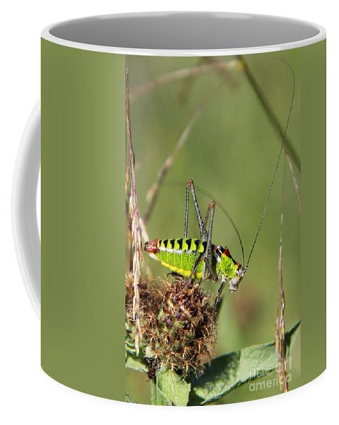 Long-horned Katydid Coffee Mug featuring the photograph Long-horned Katydid Tettigonid by Jivko Nakev