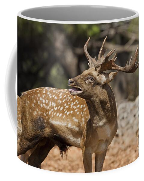 Fallow Coffee Mug featuring the photograph Mesopotamian Fallow Deer 4 by Eyal Bartov