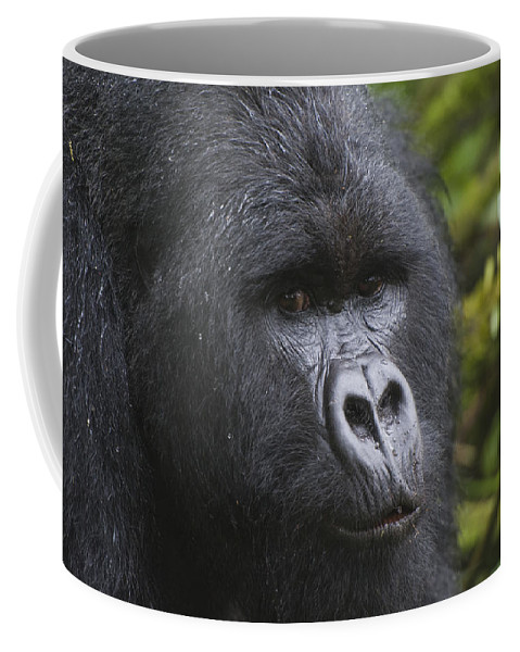 Feb0514 Coffee Mug featuring the photograph Mountain Gorilla Silverback Rwanda by D. & E. Parer-Cook