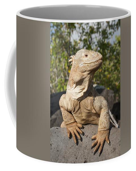 534165 Coffee Mug featuring the photograph Santa Fe Land Iguana Galapagos by Tui De Roy