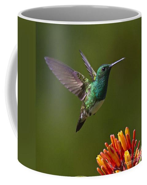 Bird Coffee Mug featuring the photograph Snowy-bellied Hummingbird 1 by Heiko Koehrer-Wagner