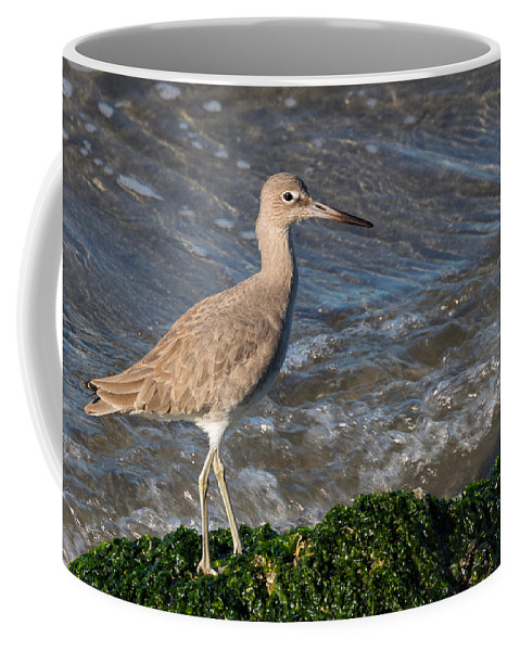 Western Willet Coffee Mug featuring the photograph Western Willet by Kathleen Bishop