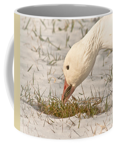 Animal Coffee Mug featuring the photograph Wintering Snow Goose by Robert Frederick