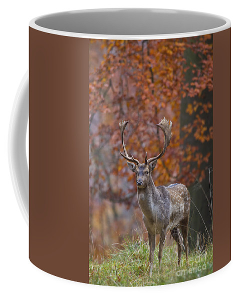 Fallow Deer Coffee Mug featuring the photograph 110221p135 by Arterra Picture Library