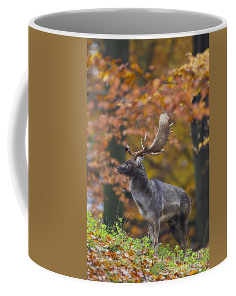 Fallow Deer Coffee Mug featuring the photograph 110221p137 by Arterra Picture Library