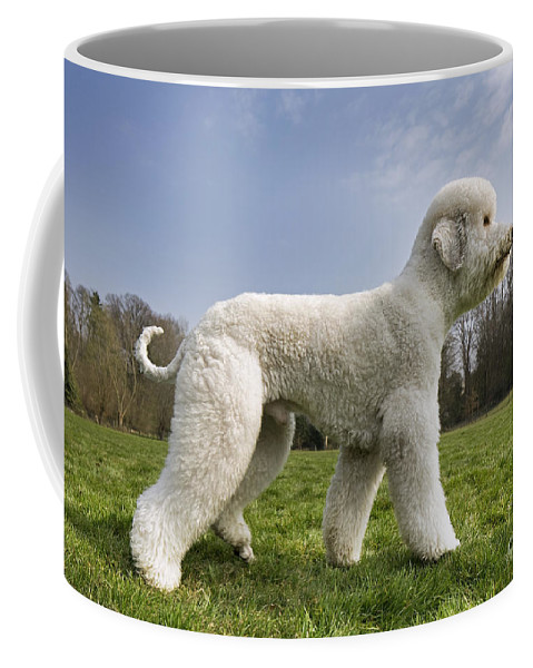 Standard Poodle Coffee Mug featuring the photograph 110506p134 by Arterra Picture Library