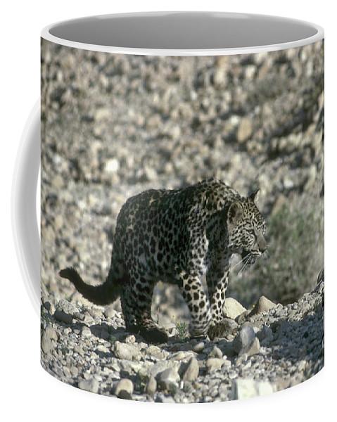Leopard Coffee Mug featuring the photograph Arabian Leopard Panthera Pardus 1 by Eyal Bartov