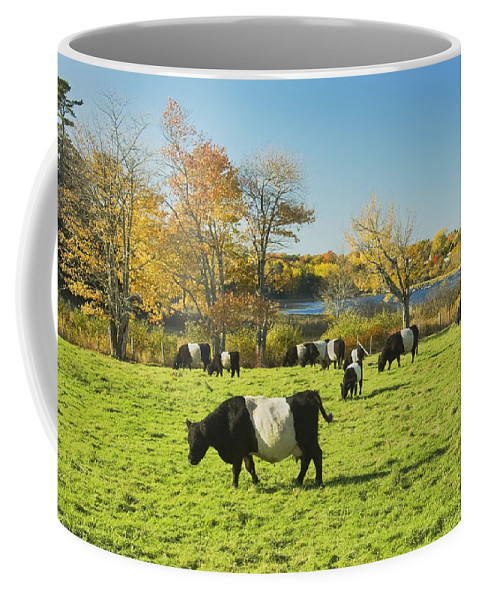 Cow Coffee Mug featuring the photograph Belted Galloway Cows Grazing On Grass In Rockport Farm Fall Main by Keith Webber Jr