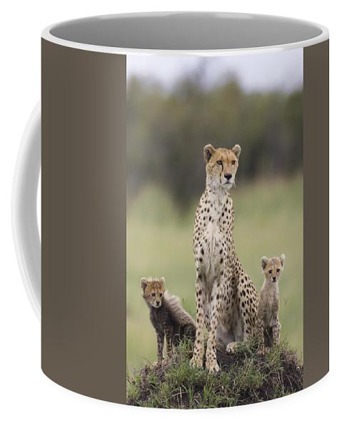 Mp Coffee Mug featuring the photograph Cheetah Mother And Cubs Maasai Mara by Suzi Eszterhas