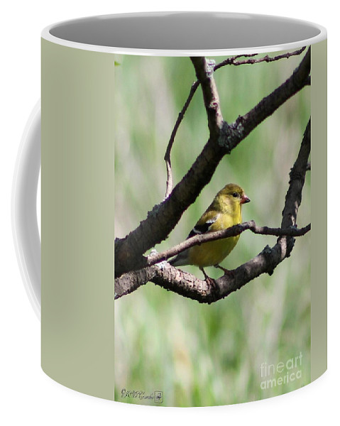 American Goldfinch Coffee Mug featuring the photograph Female American Goldfinch by J McCombie
