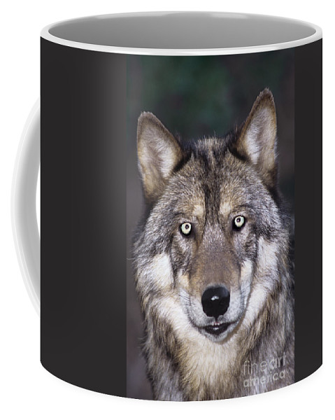 Gray Wolf Coffee Mug featuring the photograph Gray Wolf Portrait Endangered Species Wildlife Rescue by Dave Welling