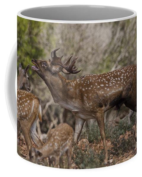 Fallow Coffee Mug featuring the photograph Mesopotamian Fallow Deer 3 by Eyal Bartov