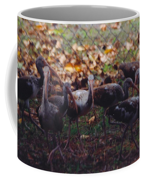 North Ft.myers Coffee Mug featuring the photograph Juvenile Ibis by Robert Floyd
