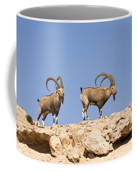 Ibex Coffee Mug featuring the photograph Male Nubian Ibex by Eyal Bartov
