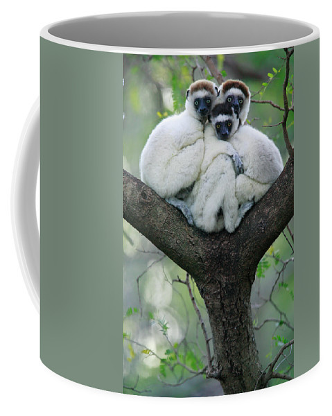 00621162 Coffee Mug featuring the photograph Verreauxs Sifaka Propithecus Verreauxi by Cyril Ruoso