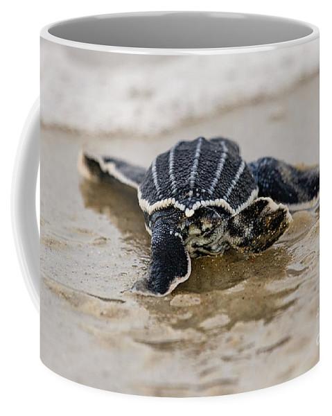 Dermochelys Coriacea Coffee Mug featuring the photograph Leatherback Sea Turtle Hatchling Amelia Island Florida by Dawna Moore Photography