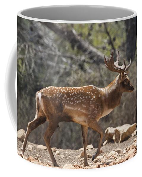 Fallow Coffee Mug featuring the photograph Mesopotamian Fallow Deer by Eyal Bartov
