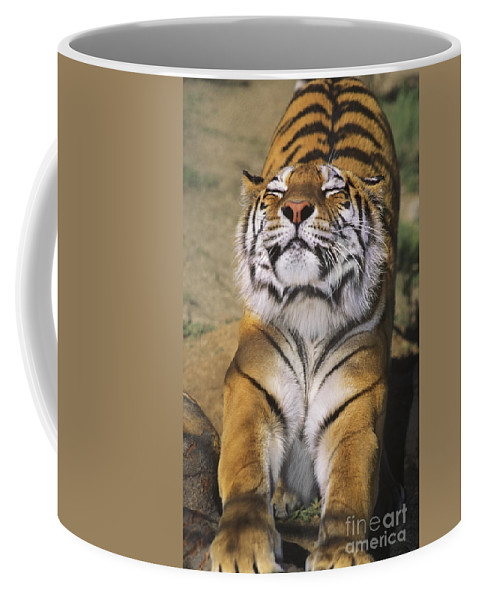 Siberian Tiger Coffee Mug featuring the photograph A Tough Day Siberian Tiger Endangered Species Wildlife Rescue by Dave Welling