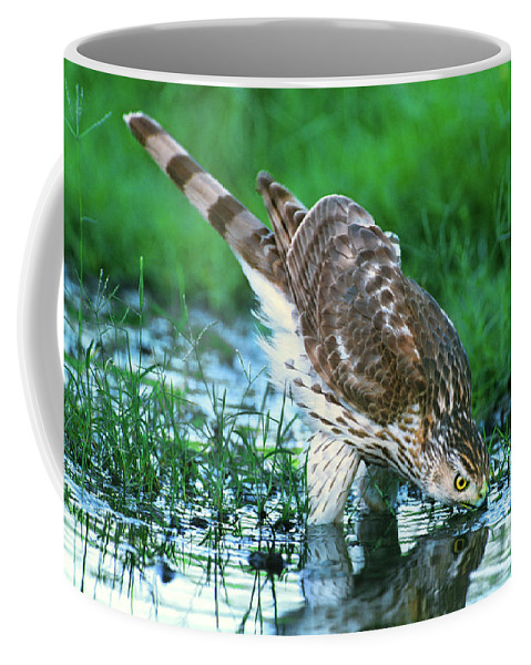 Cooper's Hawk Coffee Mug featuring the photograph A Wild Juvenile Cooper's Hawk Drinks From A Pond by Dave Welling