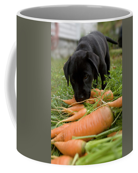 Animal Coffee Mug featuring the photograph A Young Black Labrador Retriever Puppy by Jose Azel