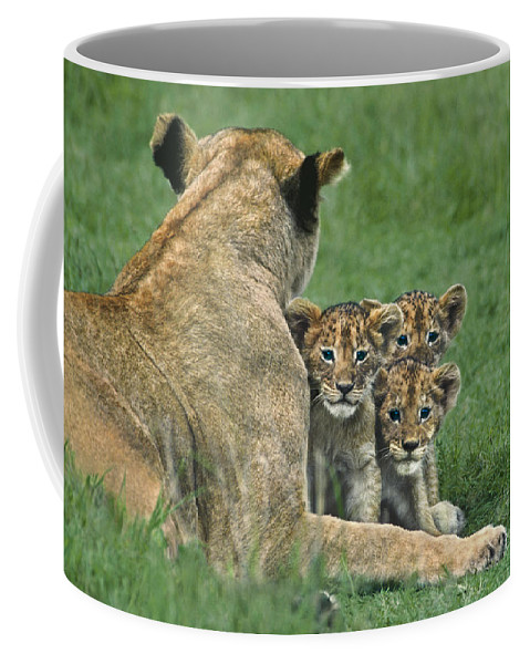 Africa Coffee Mug featuring the photograph African Lion Cubs Study The Photographer Tanzania by Dave Welling